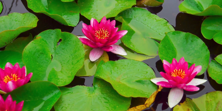 Most beautiful aquatic flowers in the world